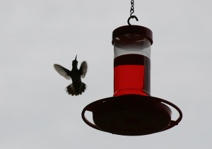 Flying hummingbird in backyard at feeder
