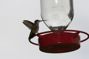 Sitting hummingbird in backyard at feeder